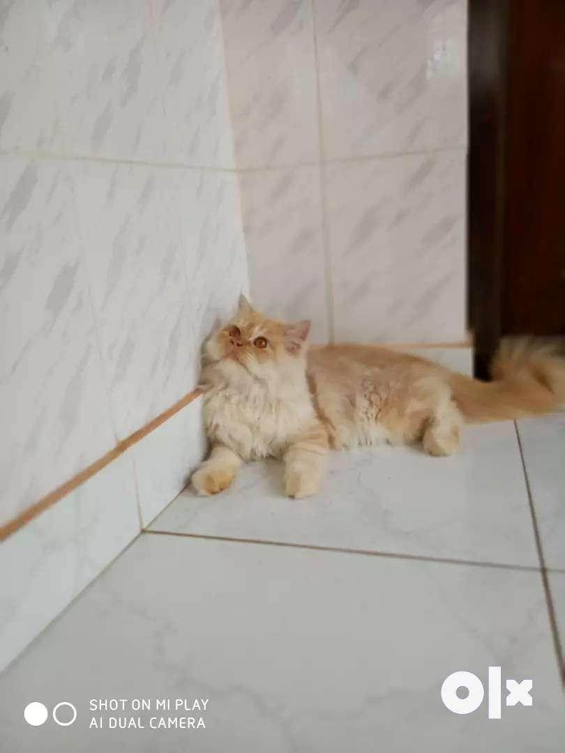 Doll face male persian kitten 0