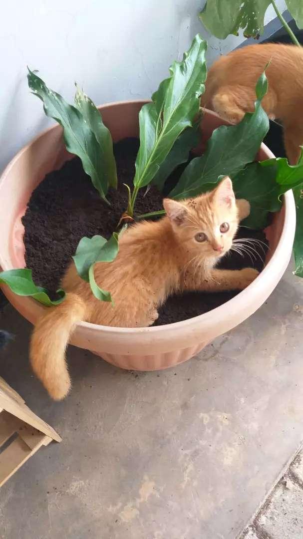 Kucing persian 3 bulan 0