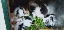 Kelinci Fuzzy love murmer