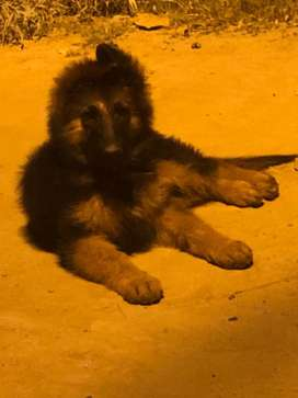 GSD puppy male for sale