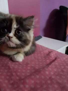 Semi punch face kitten