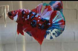 Ikan Cupang Koi Galaxy ( Betta Fish )