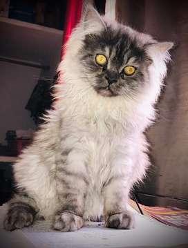 Persian siberian male kitten smokey