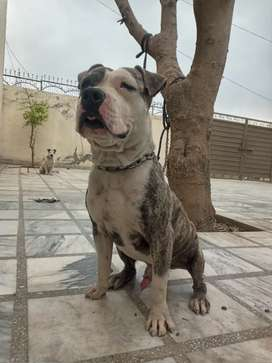 Amstaff male is up for sale