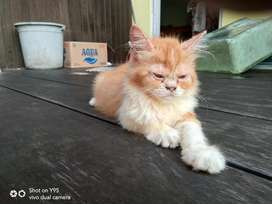 Adopsi Anak Kucing Persia 4 Bulan