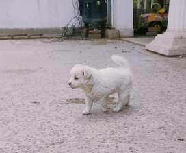 Russian Puppy Pink Nose double couted