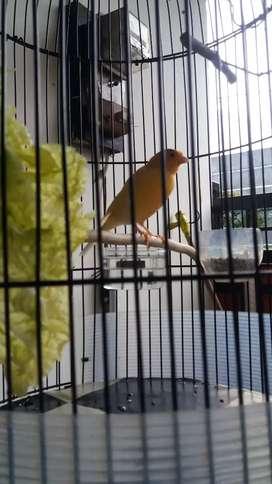 Burung Kenari dan burung Mugimaki