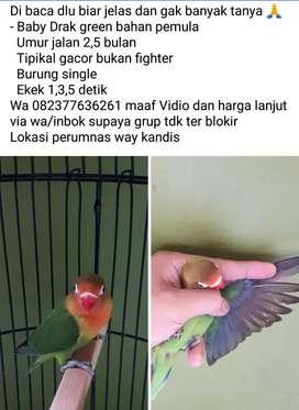 Lovebird baby siap main pemula