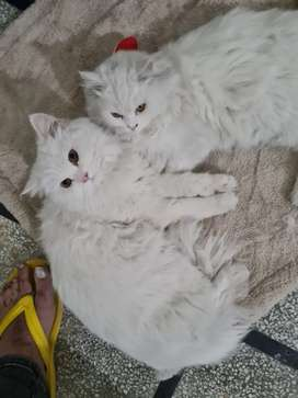 Persian cat pair