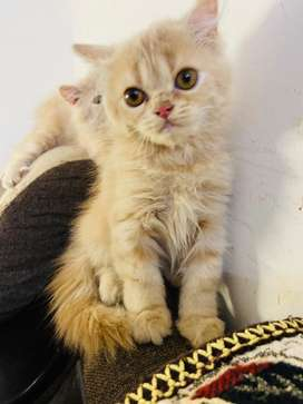 Persian cat kitten