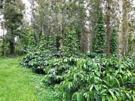 35 Acres of  well maintained coffee estate for sale in Sakleshpur
