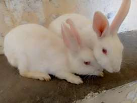 White rabbits pair for sale