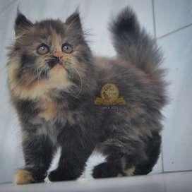 Kucing Persia Flatnose Keturunan Peaknose Long Hair Betina