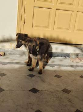 Germen sheperd puppy available for sale