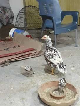 Aseel hen with 3 chicks