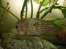 Parrot fish and green terror for sale