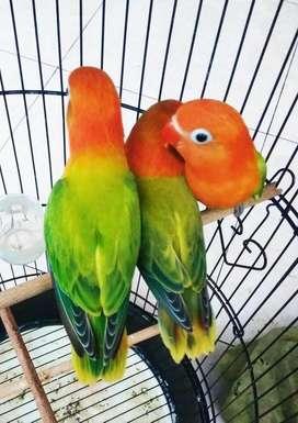 Lovebird biola green mewah