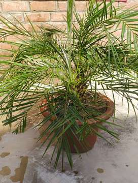 Small date palm plant with flowerpot price 250