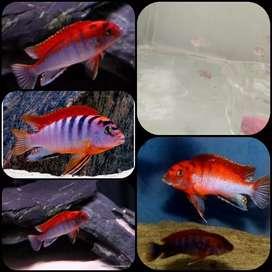 Ikan labidochromis red top untuk aquarium