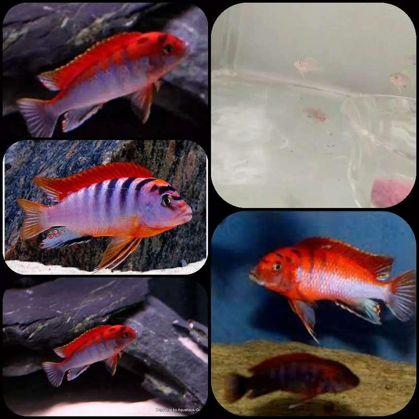 Ikan labidochromis red top untuk aquarium 0
