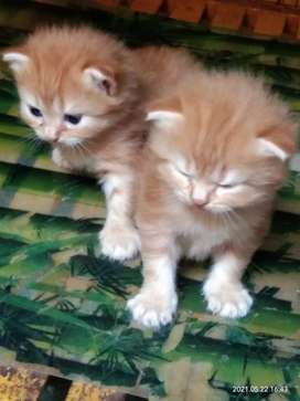 Kucing Maine Coon (mix persia)