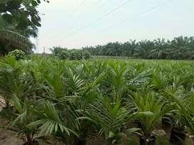 Menjual bibit kelapa sawit jenis DxP Marihat