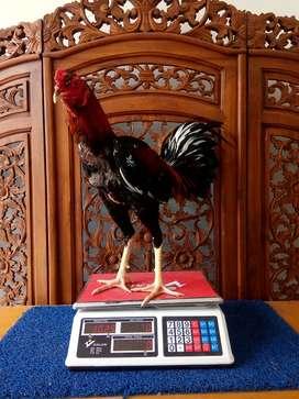 Ayam Petarung Pacek dan Babon di belitung