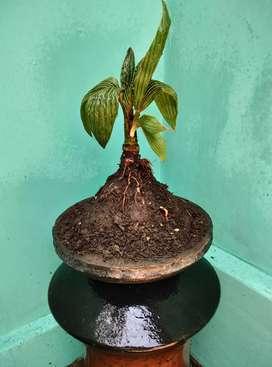 Bonsai kelapa lokal siapan