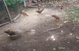 Ayam kampung jarah