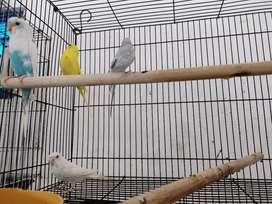 Burung parkit,lovebird