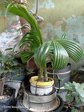 Jual Bonsai kelapa