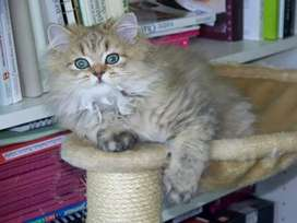 Doll face Persian cat