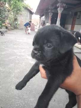 anjing pug mix hitam