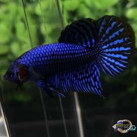 Ikan Cupang hias Berkualitas ALIEN HYBRID BLUE