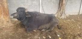 4 pregnant animals for sale