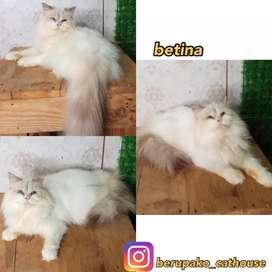 Kucing persia umur 6 bln
