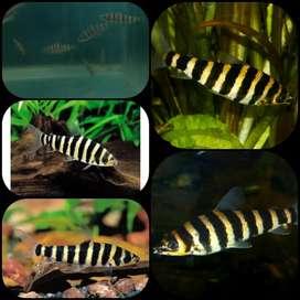 Ikan leporinus affinis untuk aquarium dan aquascape