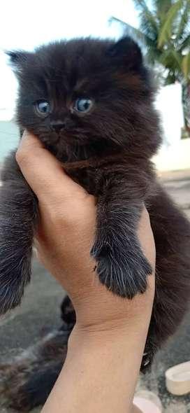 Black Persian cat female 1 month old