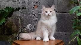 kucing persia medium bicolor cream jantan lucu