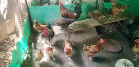 Desi misri egg laying Hens in lahore rs1000/piece.5 murghay 26 murgian