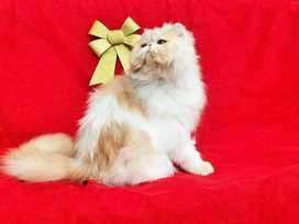 Fantastic quality persian kitten for sale