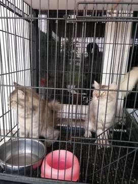 Lepas Adopsi Kucing Persia Campuran