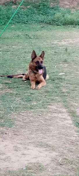 Imported German shepherd lusi for sale 180000