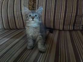 Mainecoon female pure