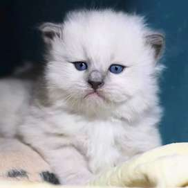 33 days old persian kitten for sale