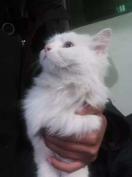 persion cat female punch face