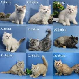 Anak kucing ras / kitten persia anggora himalaya ragdoll peaknose medi