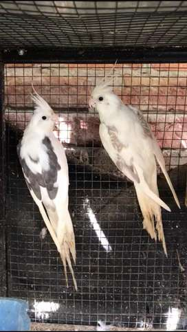 Egg laying V pied cockatiel pair. Cocktail pair
