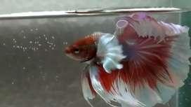 Ikan cupang halfmoon Dumbo ear top grade