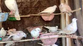 doves healthy and active adult home breed